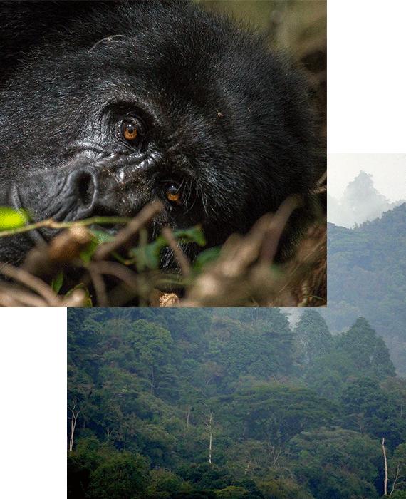 bwindi-trek-gorillas