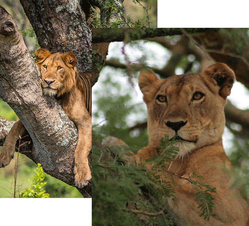 Ishasha tree lions safari