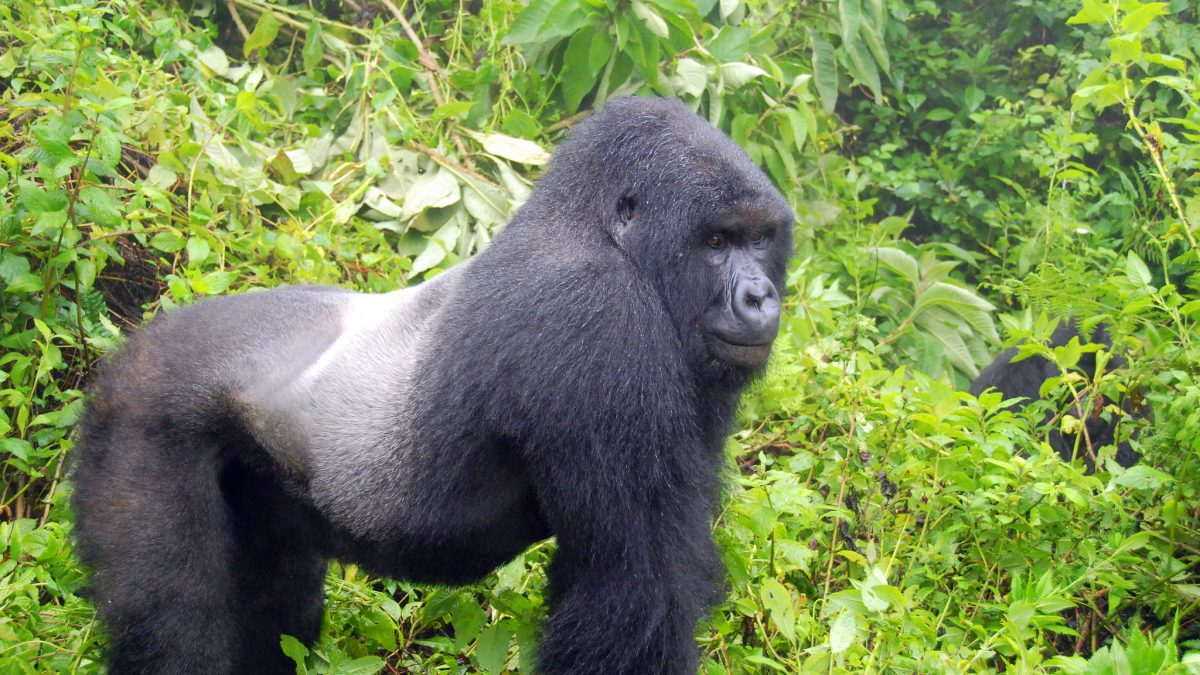 gorilla-habituation-uganda - Uganda Gorilla Habituation