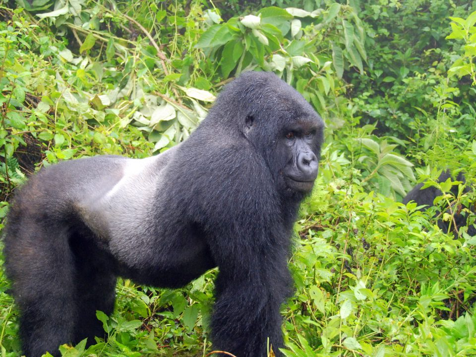 gorilla-habituation-uganda